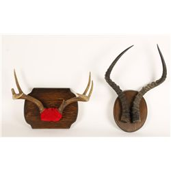 Lot of Two Animal Horns