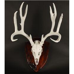 Mounted Mule Deer Skull & Antlers