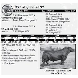 Lot 60 - ICC Abigale 4157