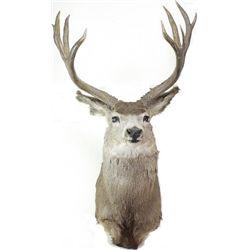Shoulder mount deer head.