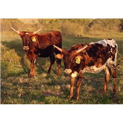 Package Deal- 2 Heifers sired by BC Awesome Mesquite