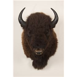 "Bison Shoulder Mount, 38"" from wall, 48"" tall, 27"""