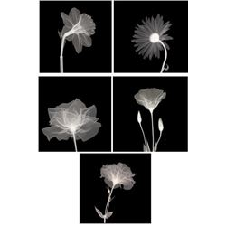 5) X-ray Photo Prints- Sunburst Petals Veiled Blossom