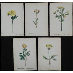 5 Antique Botanical Prints Yellow Flowers German