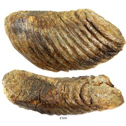 Woolly mammoth tooth from the North Sea (approx. 10,000 to 100,000 years old).