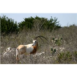 3-Day Scimitar-Horned Oryx and Aoudad Ram Hunt for One Hunter and One Non-Hunter in Texas - Includes
