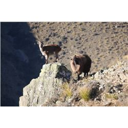 5-Day Tahr Hunt for Two Hunters and Two Non-Hunters in New Zealand - Includes Trophy Fees