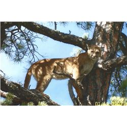 6-Day Cougar/Bobcat Trapping Trip for Two (2) Hunters