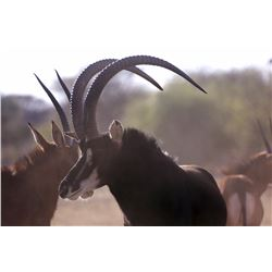 10-Day Sable hunt for one hunter and one non-hunter in South Africa