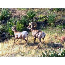 San Carlos Apache Tribe Commissioners Rocky Mountain Bighorn Permit