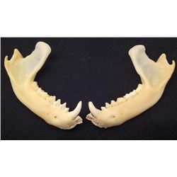 LOT OF 2 RACCOON JAWS TAXIDERMY