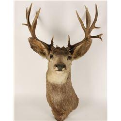 Buck Shoulder Mount