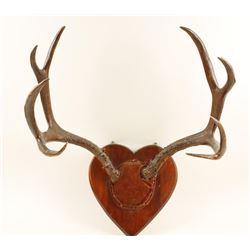 Mounted 4x4 Mule Deer Antlers