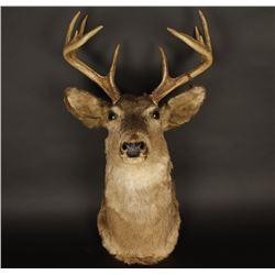 5x5 White Tail Deer Shoulder Mount