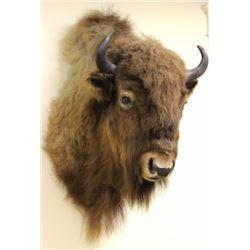 Medium size Buffalo shoulder mount