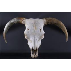 Montana Steer Bull Skull & Horns