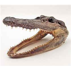 "AUTHENTIC ALLIGATOR HEAD TAXIDERMY  - 5"" LONG"