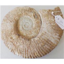 Large Ammonite Fossil