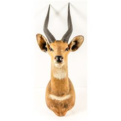 Antelope Trophy Head