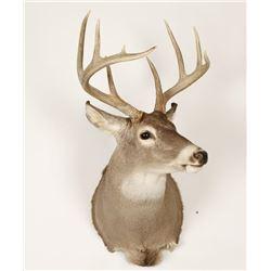 White Tail Buck Mount
