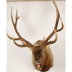 Elk Shoulder Mount