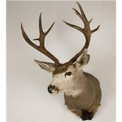 Typical Deer Mount