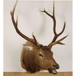 Trophy Elk Mount