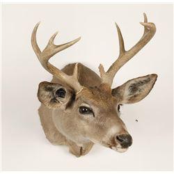 Coues Deer Mount