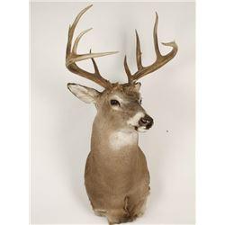 White Tail Deer Mount
