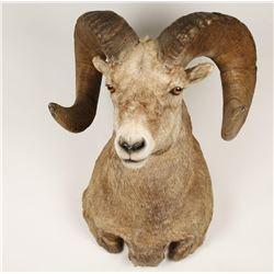 Rocky Mountain Big Horn Sheep Mount