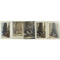 "5 RPC of Wawona ""Big Tree"", Yosemite"