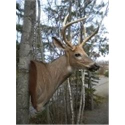 Misty Mountain Taxidermy for Whitetail Shoulder Wall