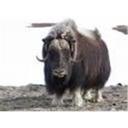 Point Blank Hunts Greenland Musk Ox for 1