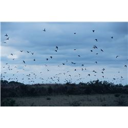 3-DAY DOVE HUNT IN ARGENTINA FOR 8 HUNTERS