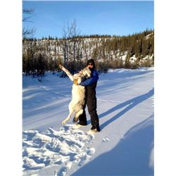 7-DAY WINTER PREDATOR HUNT IN ALASKA FOR 1 HUNTER