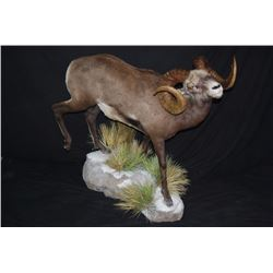 LIFE-SIZE NORTH AMERICAN WILD SHEEP MOUNT WITH HABITAT AND WOODEN BASE