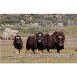 7-DAY GREENLAND MUSKOX & CENTRAL BARRON GROUND CARIBOU HUNT FOR 1 HUNTER IN GREENLAND