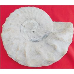 8 LB Ammonite