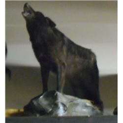 FULL GROWN BLACK WOLF HOWLING TAXIDERMY MOUNT W/ STAND