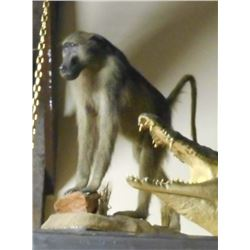 FULL SIZE MALE BABOON TAXIDERMY MOUNT W/ STAND