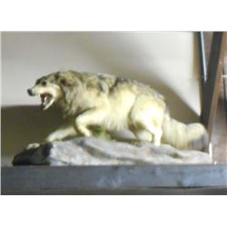 FULL GROWN GRAY WOLF TAXIDERMY MOUNT W/ STAND