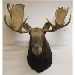 LARGE MOOSE HEAD W/ ANTLERS TAXIDERMY MOUNT