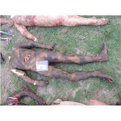 AUTOPSY DEAD BLOODY ROTTEN ZOMBIE BODY 12