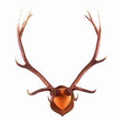 Large Montana Elk Antlers