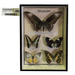 * Framed Set of Singapore Real Butterflies