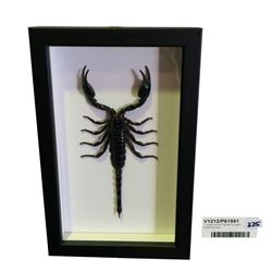 * Large Framed Taxidermy Asian Forest Scorpion