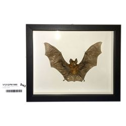 * Large Framed Taxidermy Blyth's Horseshoe Bat
