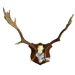 * Set of Fallow Deer Antlers Mounted on Wooden Crest
