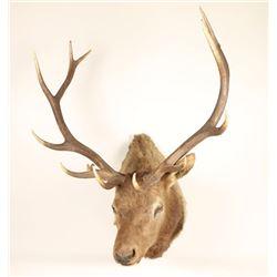 Shoulder Elk Mount