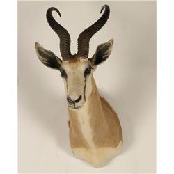 African Spring Buck Shoulder Mount